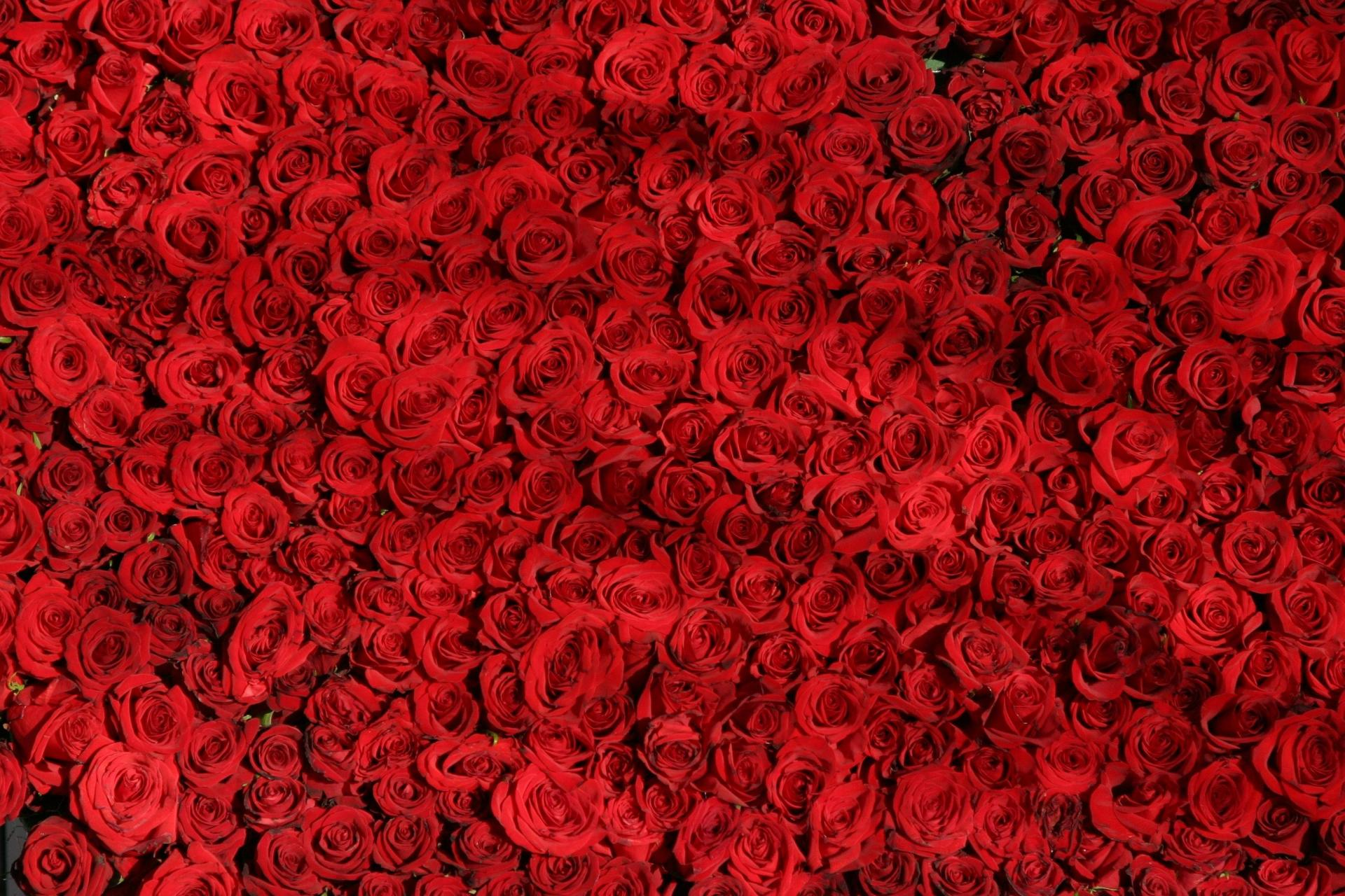Red roses are love